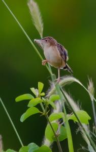 FanTailed Warbler