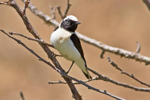 Blackeared Wheatear