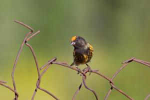 Red-fronted Serins