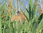 Great%20Reed%20Warbler