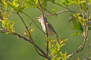01 Olivaceous-Warbler-(5)-web