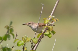 02 Great-Reed-Warbler-(2)-web