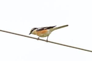 04 Masked-Shrike-Tepearasi-(9)-web