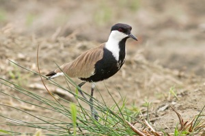 06 Spur-winged-Plover-(23)-web