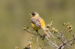 10 Black-headed-Bunting-Seki-(3)-web
