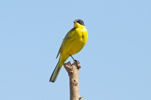 12 Black-headed-Wagtail-Seki-(8)-web