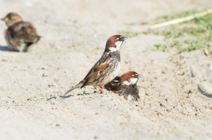 18 Spanish-Sparrow-(12)-web
