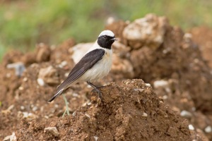 19 Black-eared-Wheatear-(1)-web