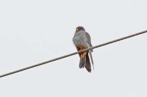 21 Red-footed-Falcon-(6)-web