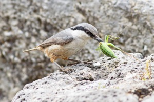 26 Rock-Nuthatch,-Kaunos-(28)-web