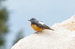 28 Rock-Thrush-(2)-web