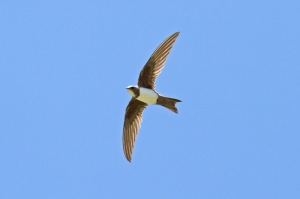 33 Alpine-Swift,-Tepearasi-(7)-web