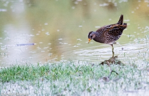 Spotted Crake