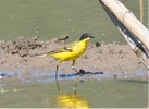 Blackheaded Wagtail