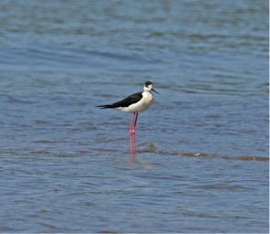 blackwinged-stilt