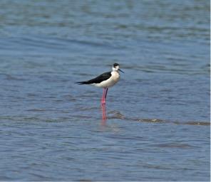 blackwinged-stilt
