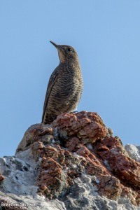 Femal Blue Rock Thrush