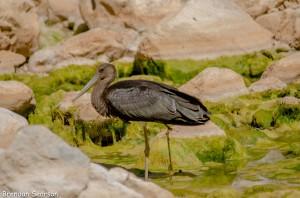 Juv Black Stork