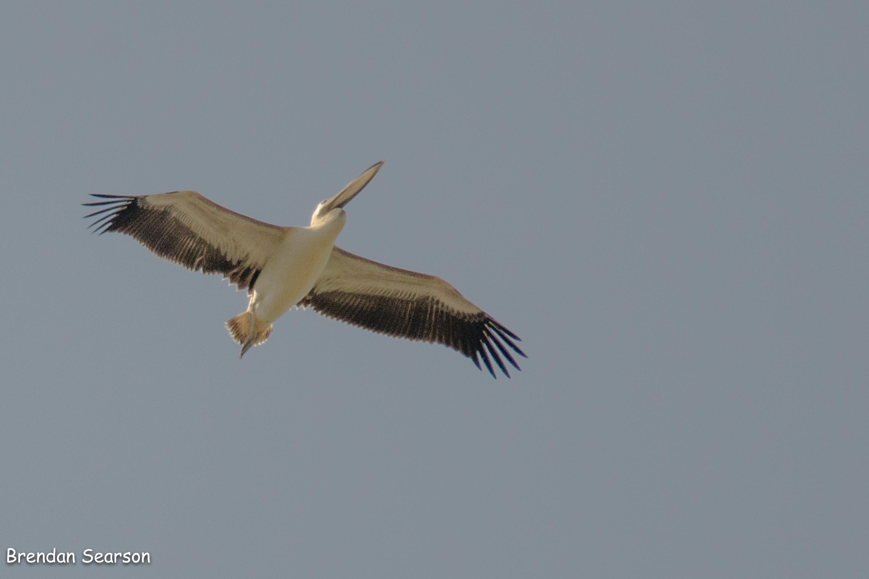 Dalyanbirding\'s Blog   Bird sigthings and news from around Dalyan ...