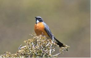 white-throated-robin