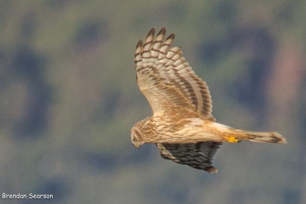 Montagus Harrier