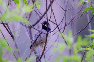 Rüppells Warbler