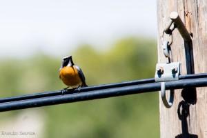 White Throated Robin